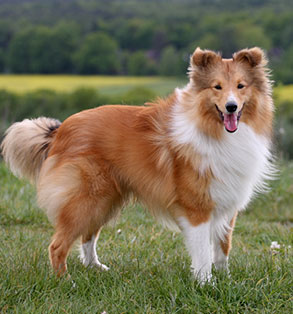Shetland sheepdog | Sheknows.com
