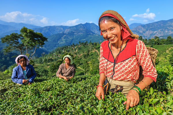 Tea pickers in Darjeeling, India
