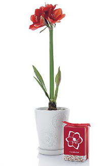Amaryllis red bulbs