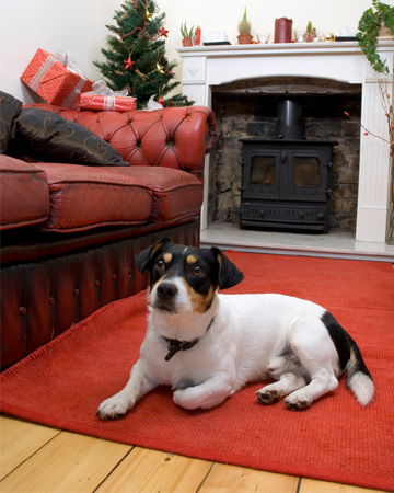 Dog in living room decorated for Christmas