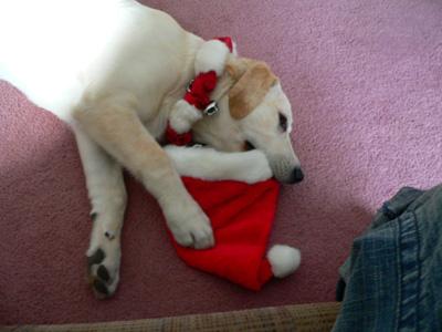 Dog eating Santa hat