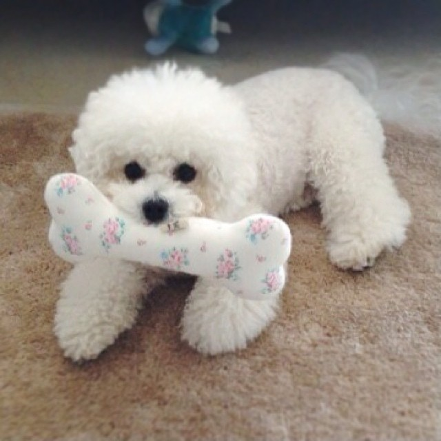 20 small dog breeds that are the cutest creatures on the