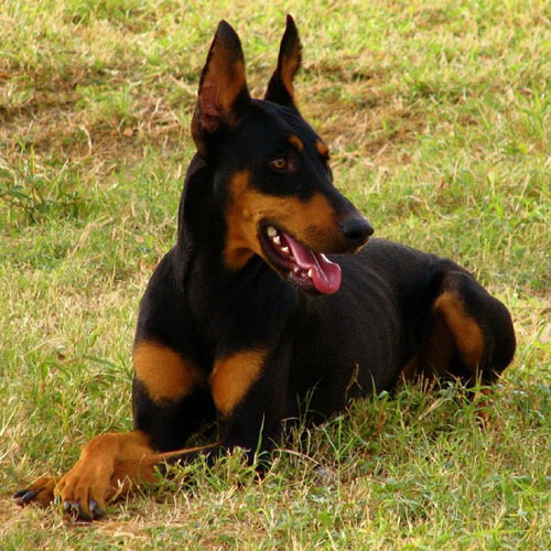 Top 12 The Most Loyal Dog Breeds | Dog Breeds Picture