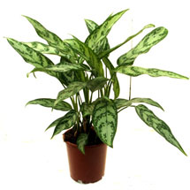 Houseplants: Chinese Evergreen