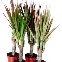 Houseplants: Dracaena