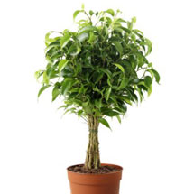 Houseplants: Ficus Tree