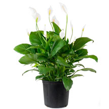 Houseplants: Peace Lily