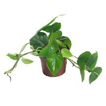Houseplants: Heartleaf Philodendron