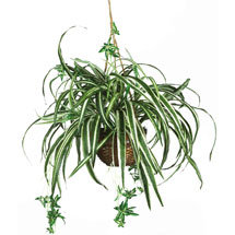Houseplants: Spider Plant