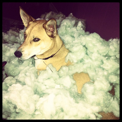 Dog destroying couch cushion
