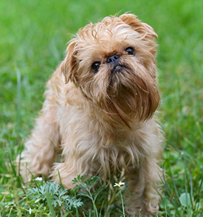 Brussels Griffon | Sheknows.com