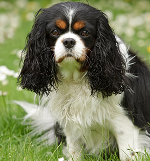 Cavalier King Charles Spaniel | Sheknows.com