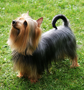 Silky terrier | Sheknows.com