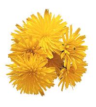 Dandelion flowers | Sheknows.com