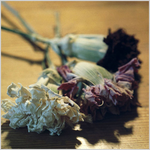 Dying carnations