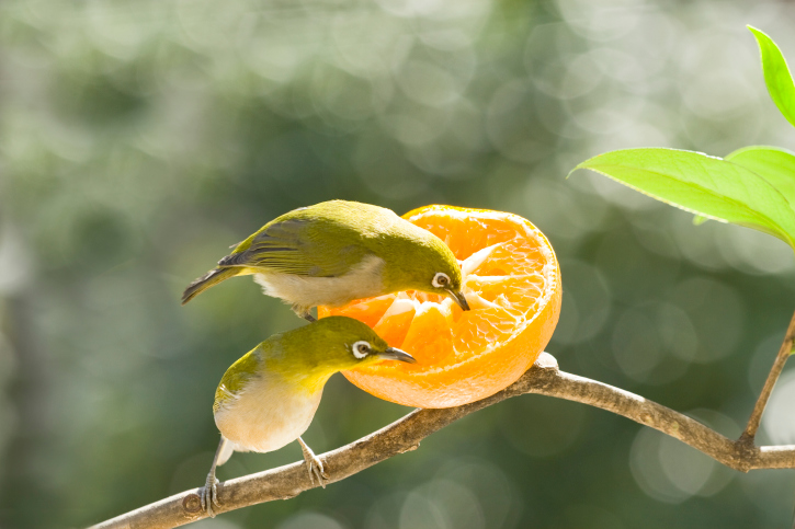 Birds eating orange | Sheknows.com