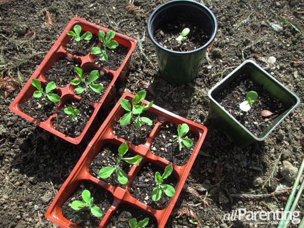 wildflower seedlings