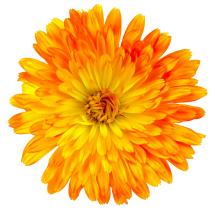 Edible flowers- Calendula