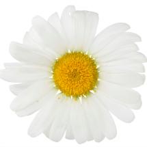 Edible flowers- Chamomile