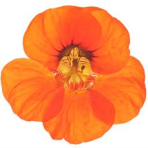 Edible flowers- Nasturtiums