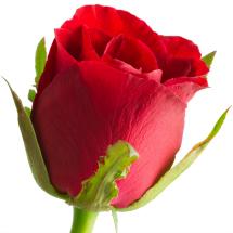 Edible flowers- Roses