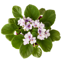 Edible flowers- Violets