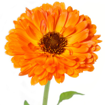 Edible flowers- Marigolds