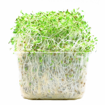 uncooked alfalfa sprouts