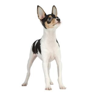 American Toy Fox Terrier