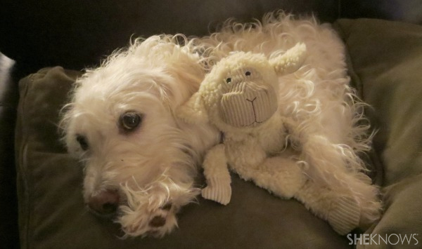 Dog daisy with lamb toy   Sheknows.com