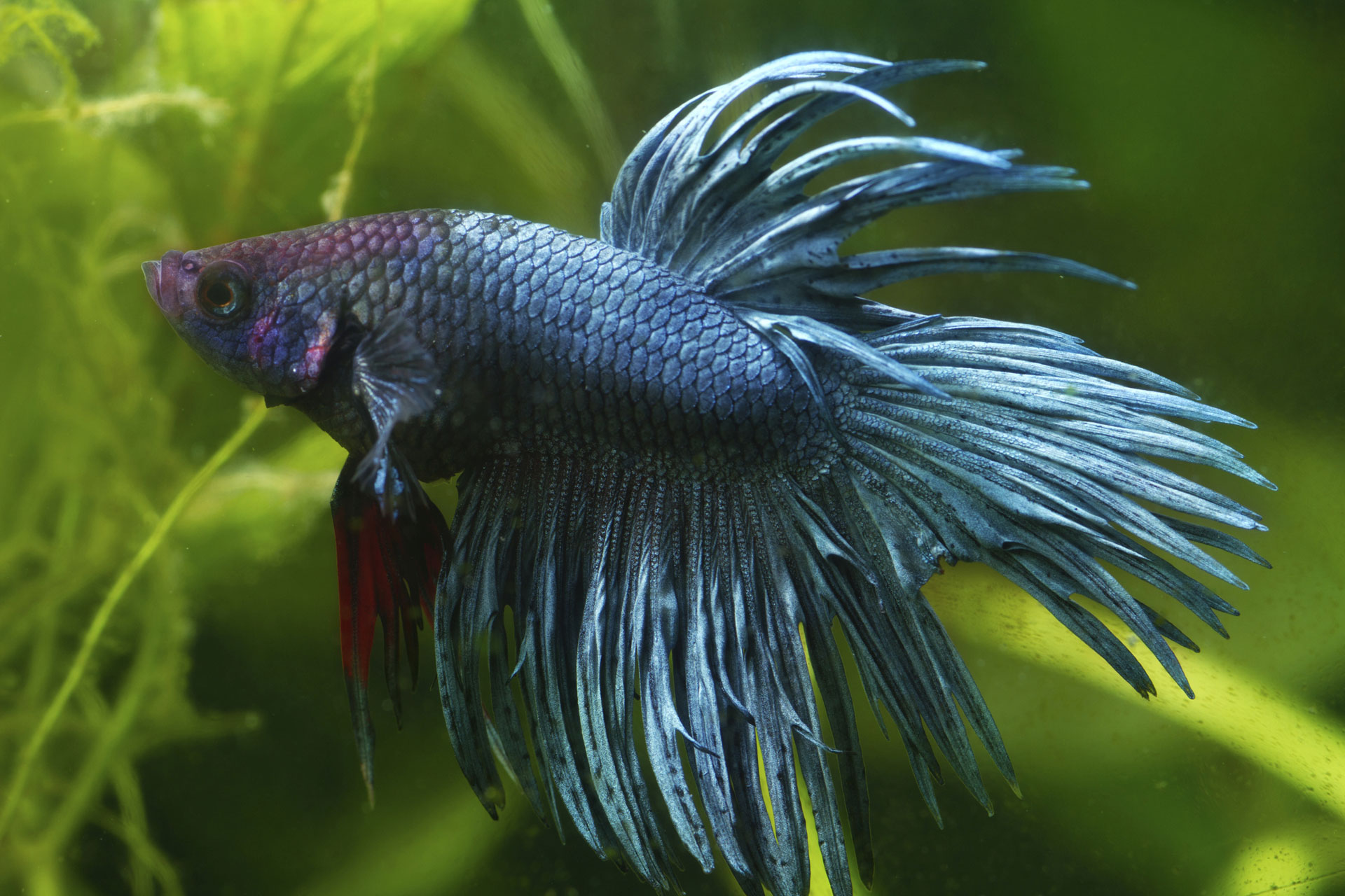 Beautiful fish that can be kept as pets for Pet betta fish