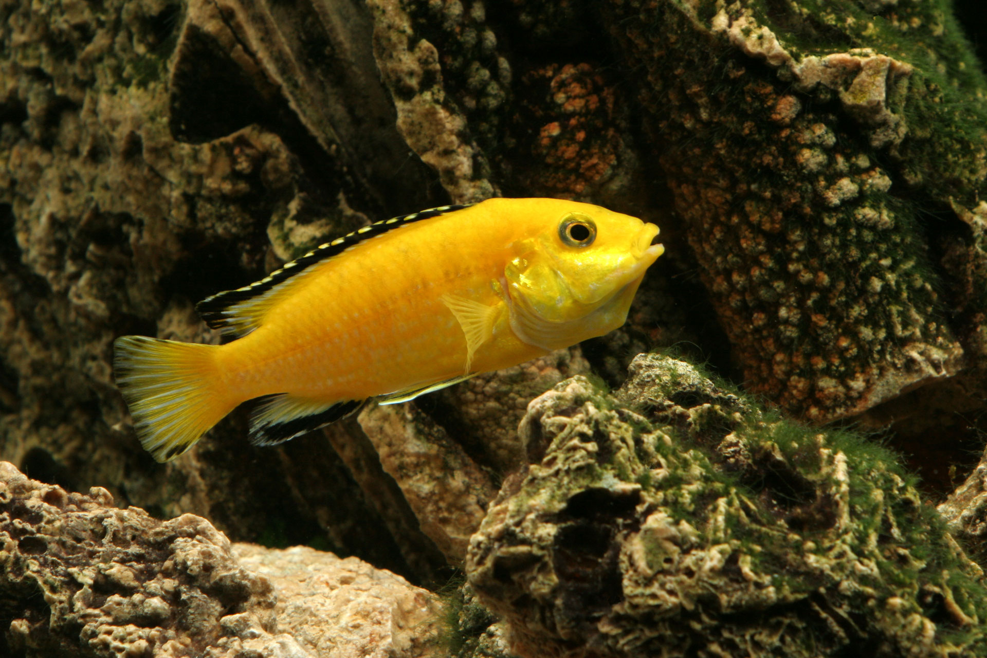 Electric Yellow Labidochromis African Cichlid