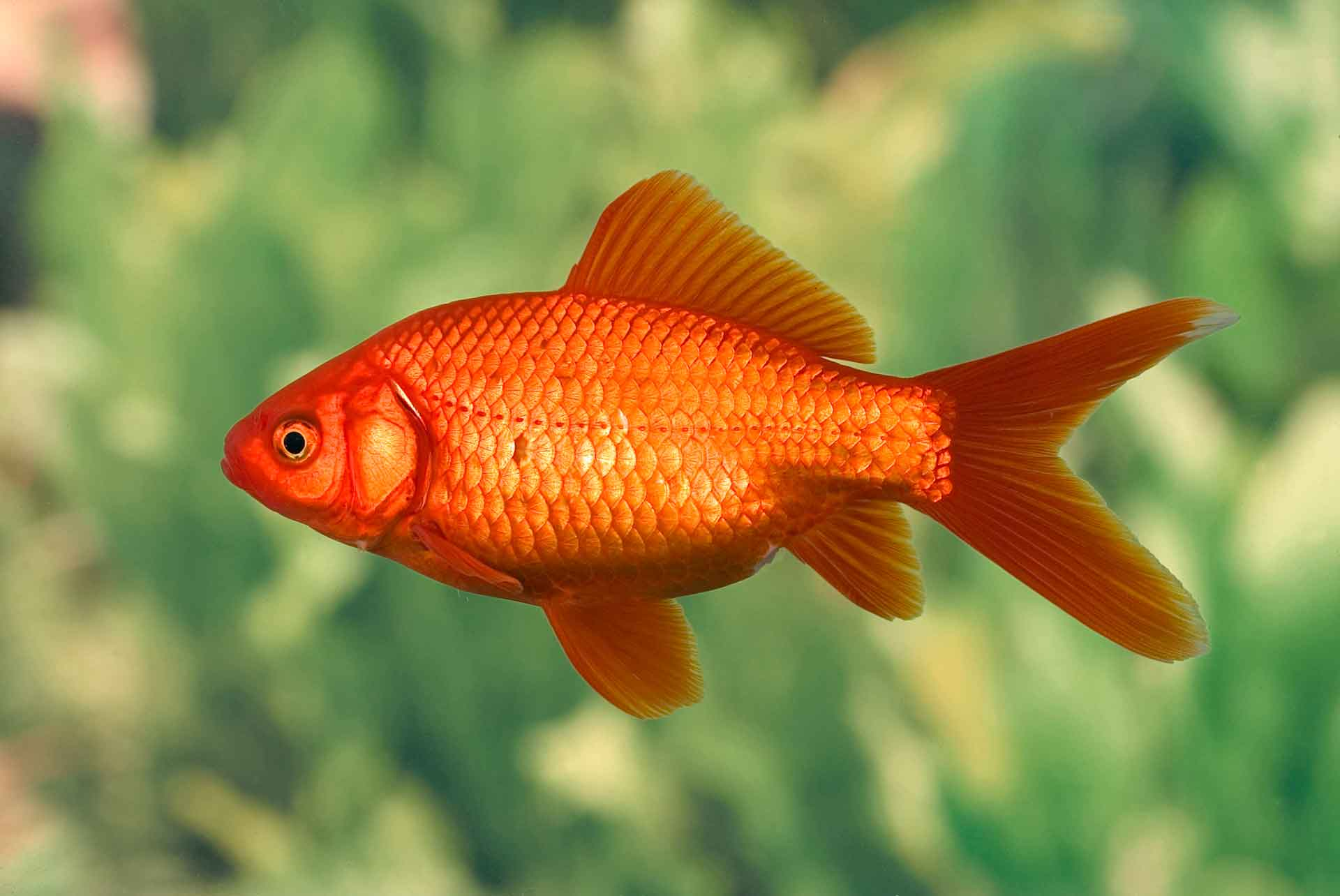 Easy fish to keep and maintain for Fish that can live with goldfish