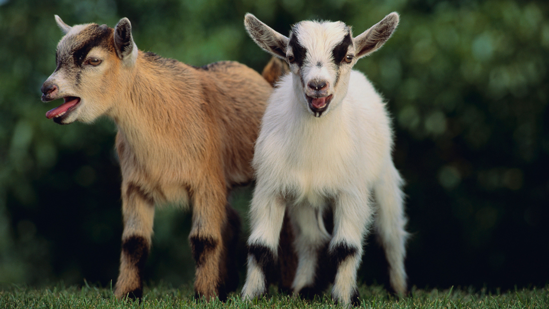 Pygmy goats | Sheknows.com