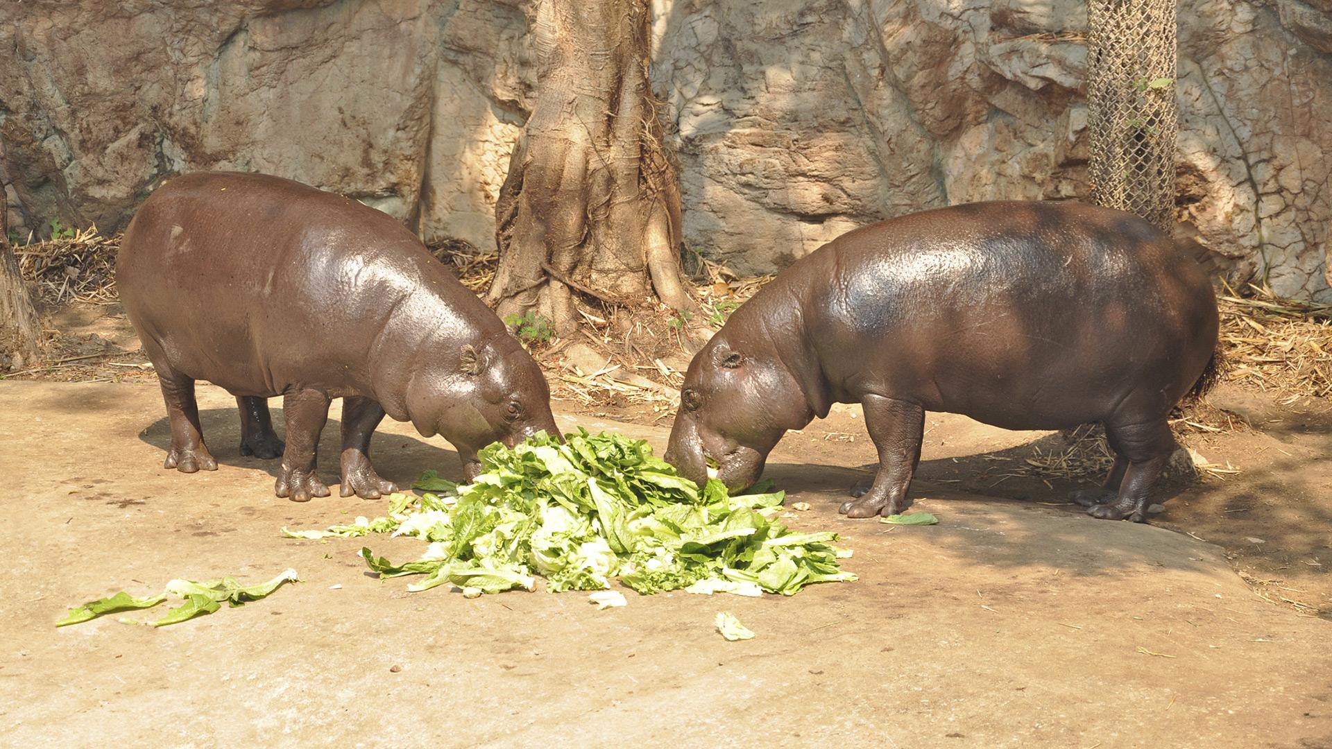 Pygmy hippos | Sheknows.com