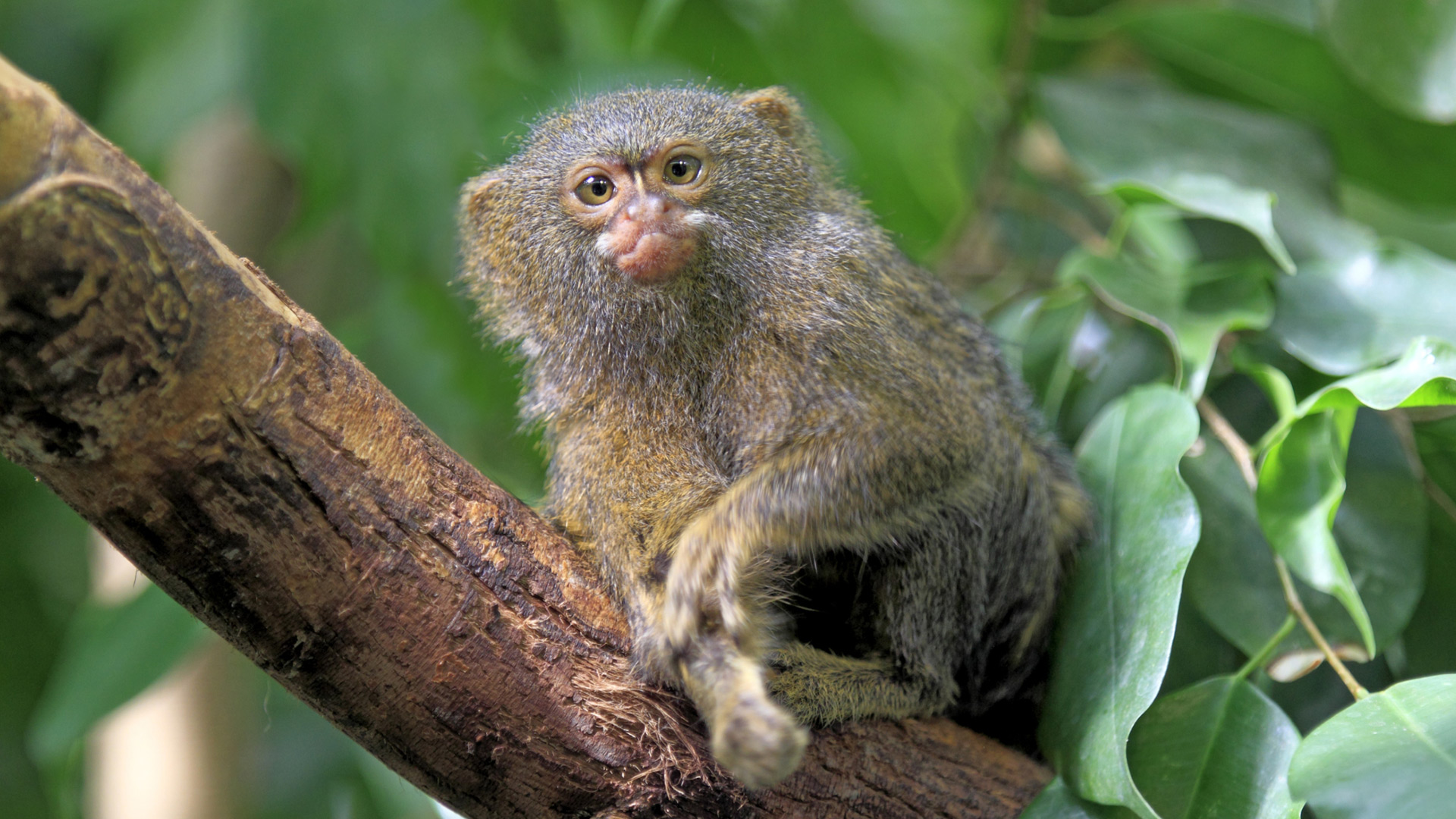 Pygmy marmoset | Sheknows.com