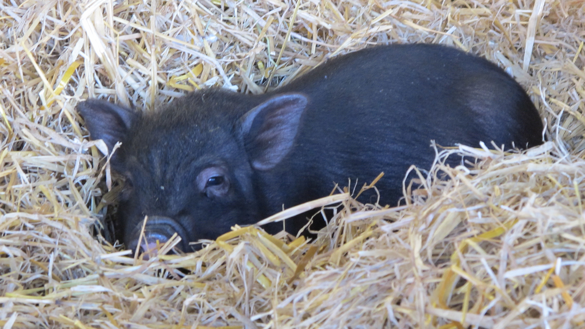Micro pigs | Sheknows.com