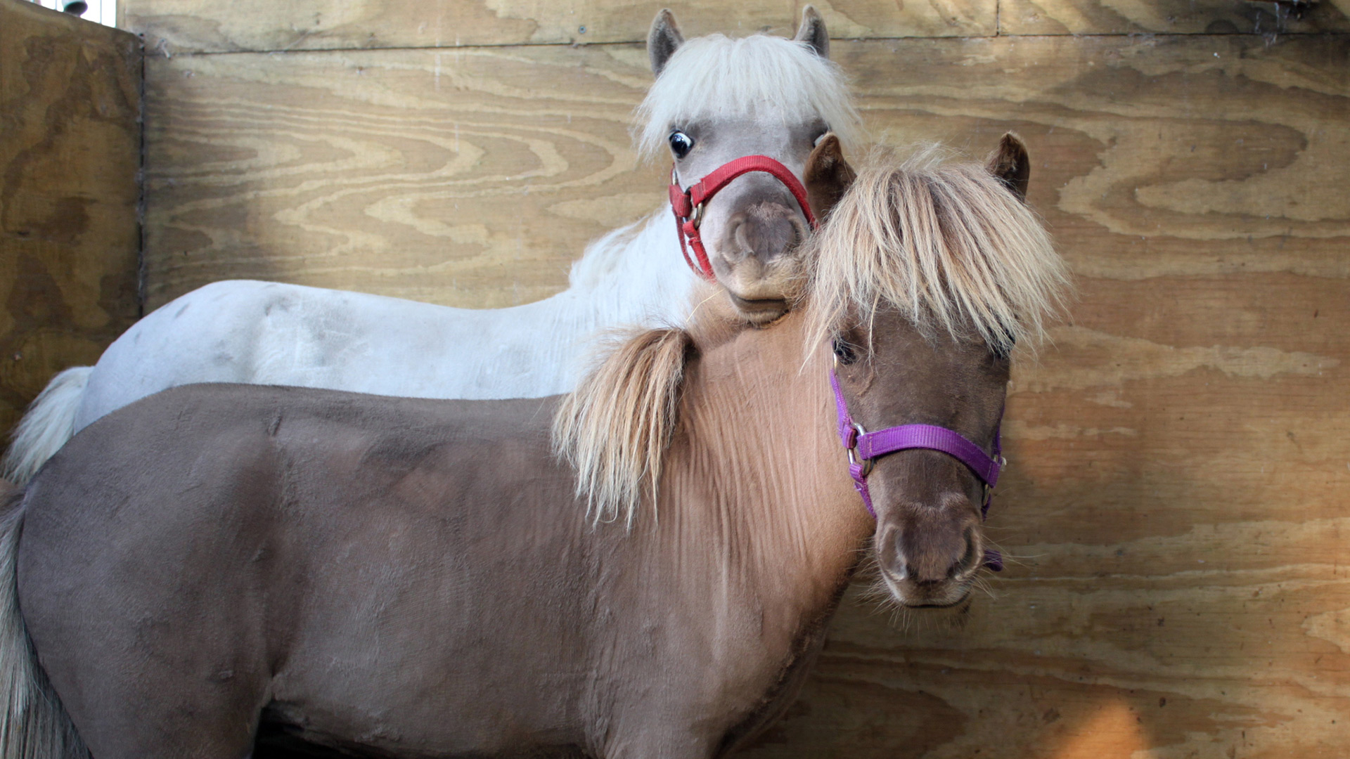 Mini horses/ponies | Sheknows.com