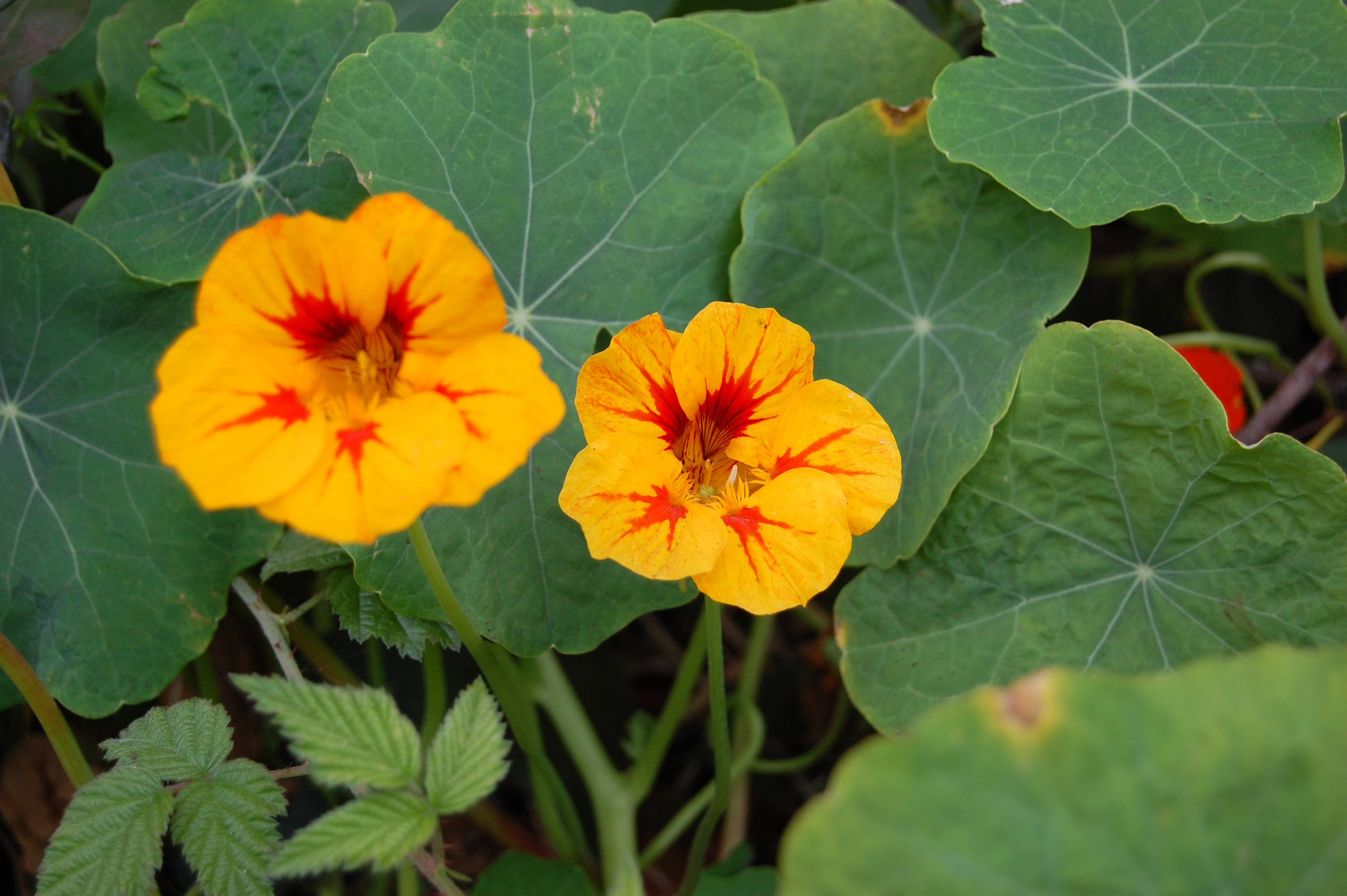 Kid's plants- Nasturtiums