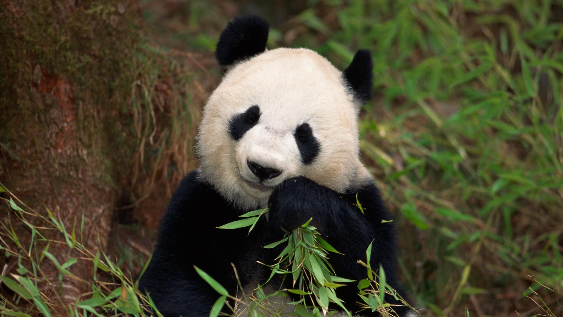 Panda fakes pregnancy