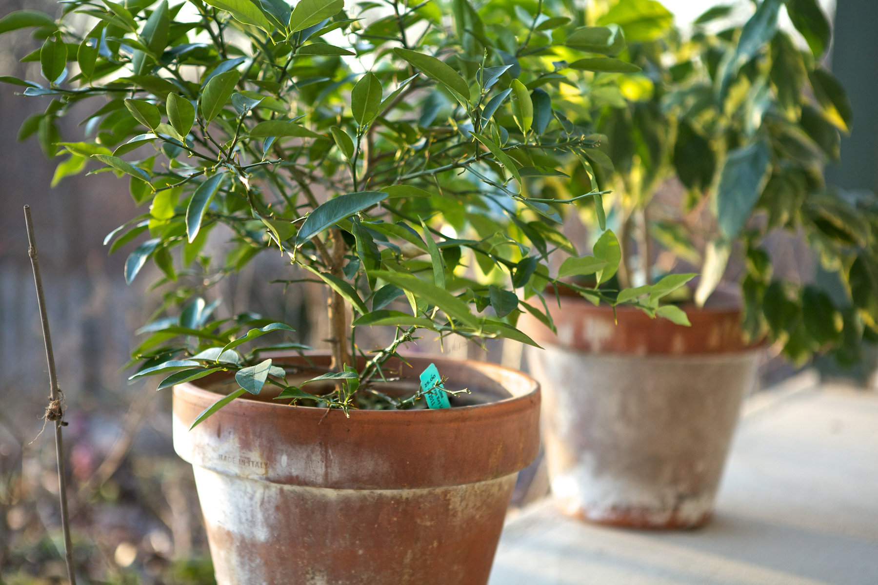 5 things you must do now to get your garden ready for winter - Limonero en maceta ...