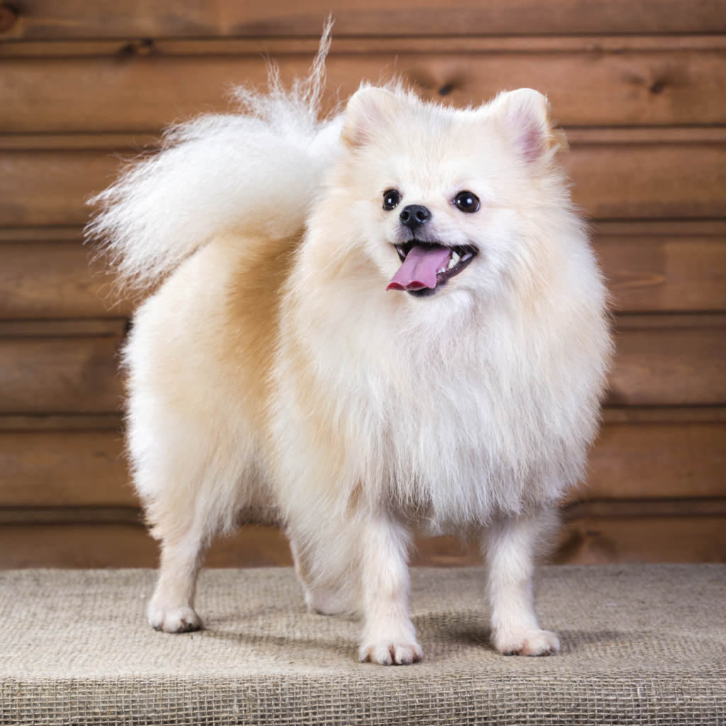 Cute fluffy dog breeds for Fluffy little dog breeds