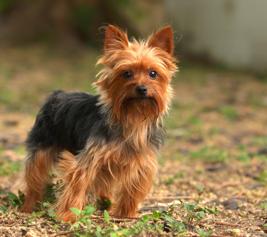 Fantastic Fluffy Brown Adorable Dog - Yorkshire_Terrier  Pictures_3197  .jpg