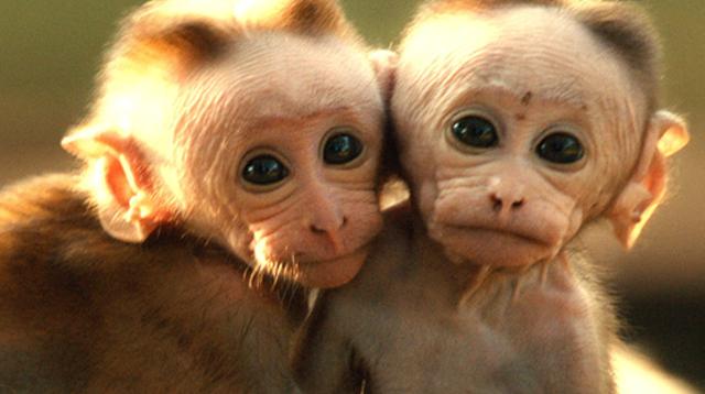 Monkey Kingdom Baby Monkey Presents Monkey Kingdom