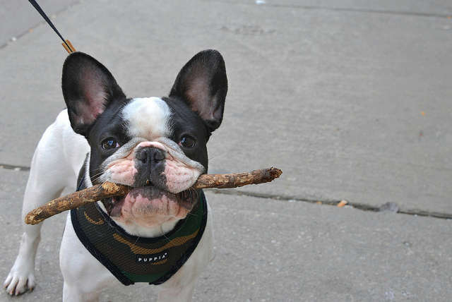 Things Only French Bulldog Owners Understand