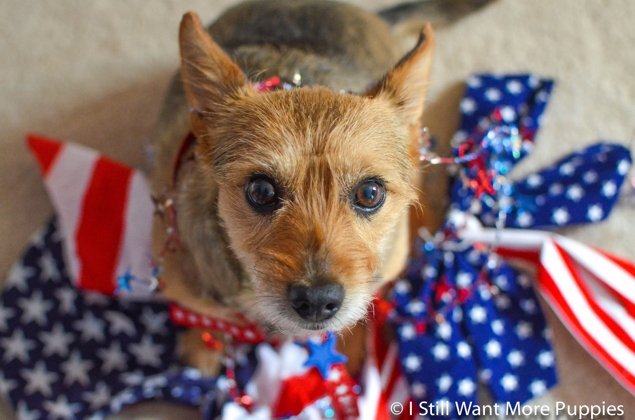 All-American pups sporting red, white and blue for Labor Day