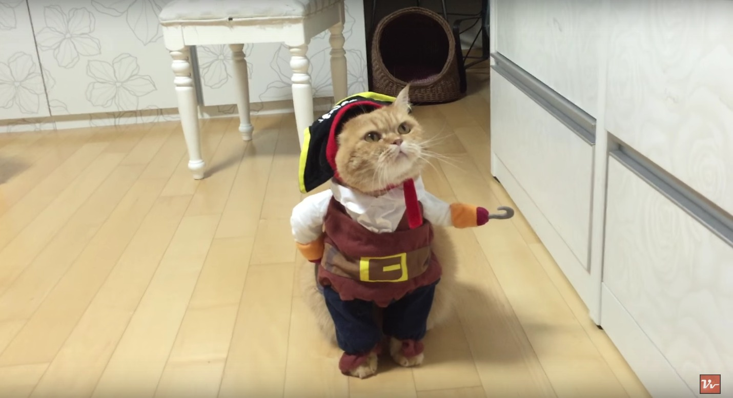 Cat dressed as a pirate is the best thing we ve ever seen watch