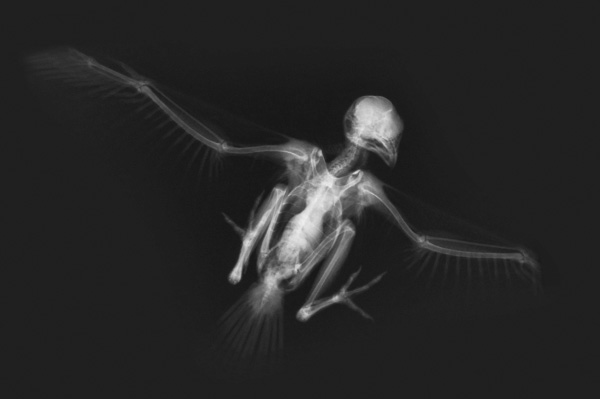 Bird X-Ray