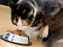 How much should a cat eat? You'll be surprised