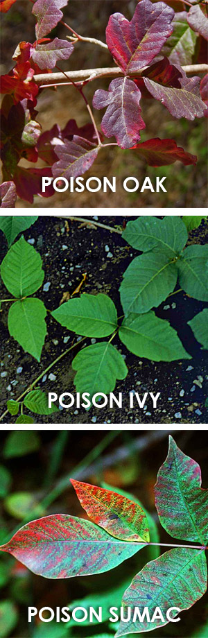 poison oak pictures. Poison oak - poison ivy